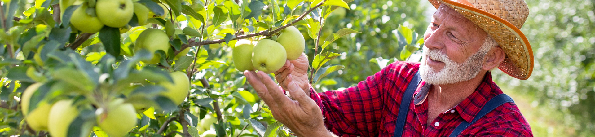 man looking at green apples on the tree