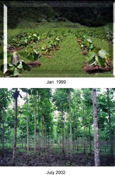 costa rica teak plantation